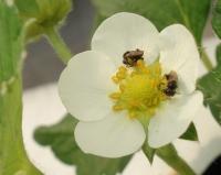 Polinização pela abelha mirim reduz a quantidade de frutos deformados